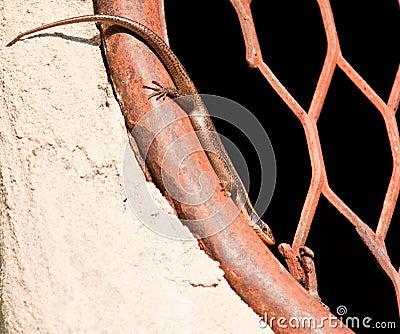 Lizard resting