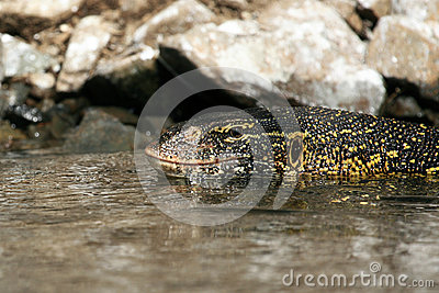 Lizard in River Nile - Uganda, Africa