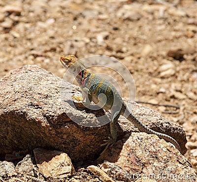 Lizard in sun