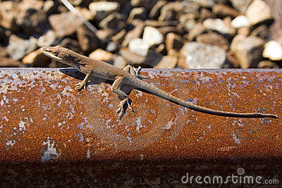 Lizard on rusted rail track