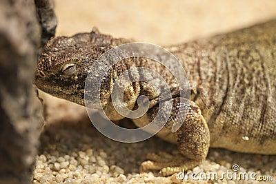 Lizard on the sand