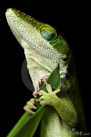 Free Lizard Sleeping Royalty Free Stock Photo - 8819025