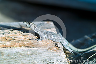 The lizard standing on the part of wood