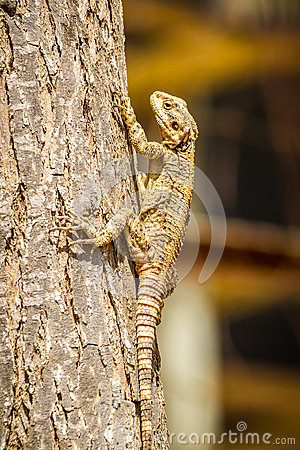 Free Lizard - Stellagama Stellio, Fauna Of Israel Royalty Free Stock Photo - 75344325