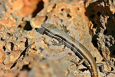 Lizard in the sun Closeup
