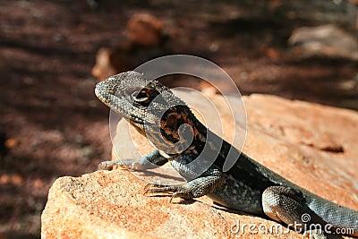 Lizard Sunning