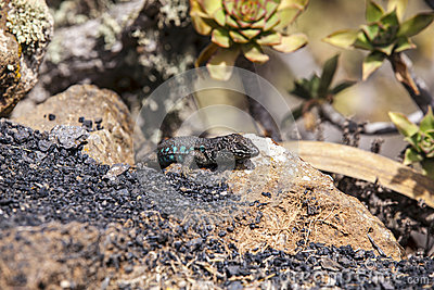 Lizard on volcanic ground