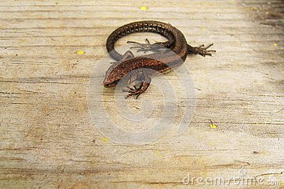 A lizard on wooden background