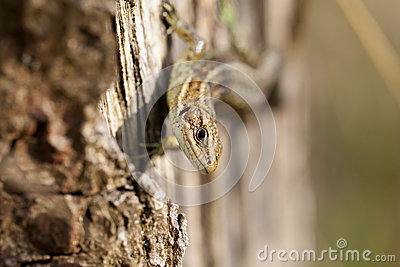 Lizard - Zootoca-vivipara - looking