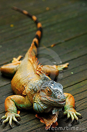 Free Lizards Royalty Free Stock Photo - 6300595