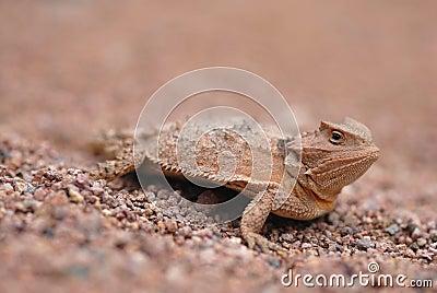 Lizards Of Arizona