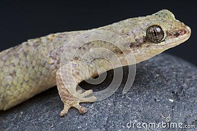 Dwarf Fish-scaled gecko / Geckolepis petiti