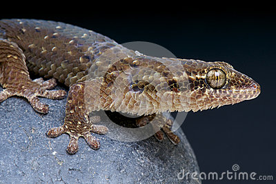 Fish-scaled gecko / Geckolepis maculata