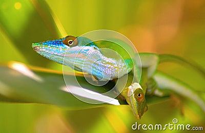 Lizards on leaf