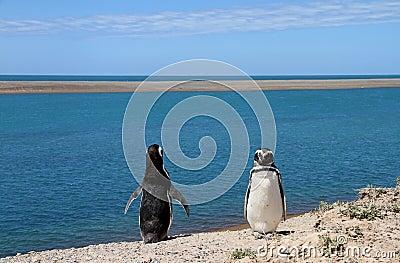 Löjligt koppla ihop av pingvin som Magellanic på Atlanten seglar utmed kusten.