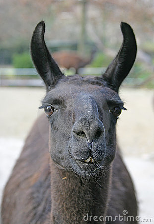 Free Llama 2 Royalty Free Stock Photo - 1662185