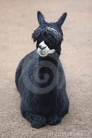 Free Llama Stock Photography - 2578432