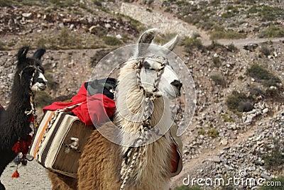 external image llama-thumb2911910.jpg