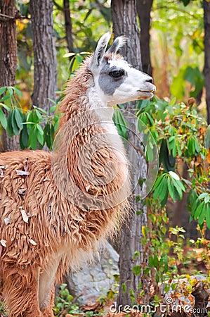Free Llama Stock Photography - 30216472