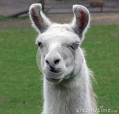 Free Llama Royalty Free Stock Images - 4947929