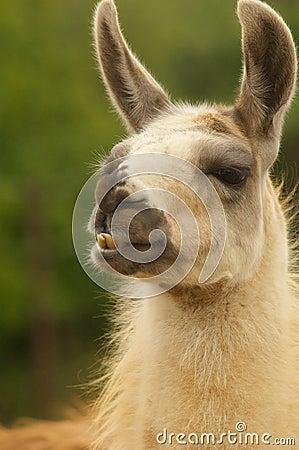 Llama να κοιτάξει επίμονα