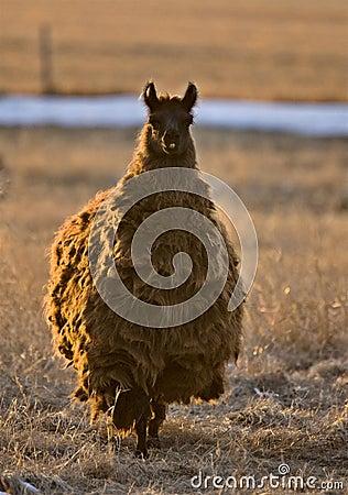 Llama Alpaca