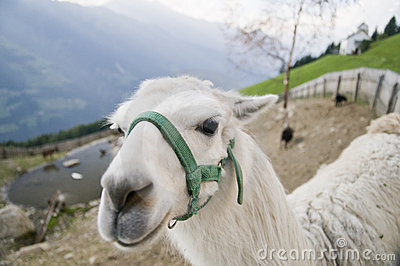 Llama in Alps mountains