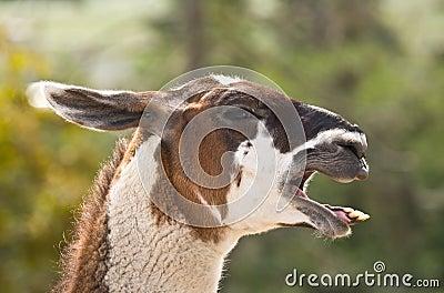 Llama  Braying