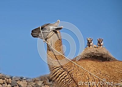 Llama-camel