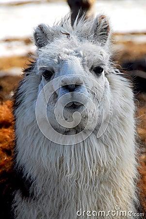 Free Llama Closeup Stock Photos - 13035403