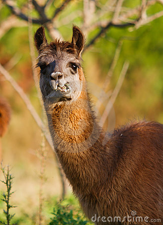 Llama eating and staring, blurry nature background