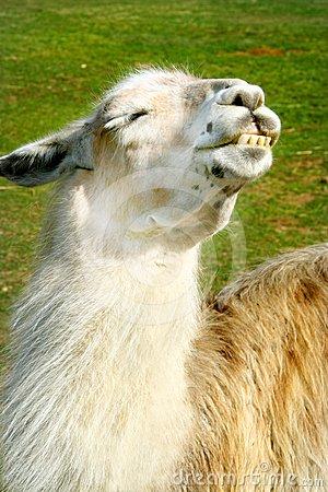 Llama enjoys the sun
