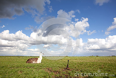Llama in the grass and blue sky