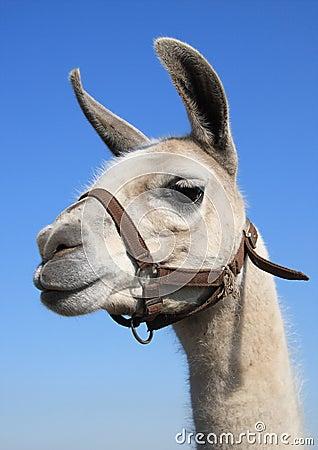 Free Llama Head Royalty Free Stock Image - 14314286