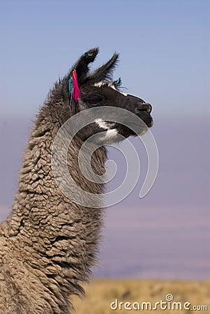 Llama a high altitude Camelid