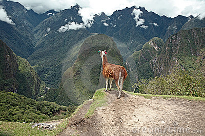 Llama at Historic Lost City of Machu Picchu.