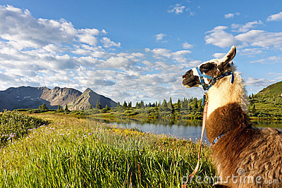 Llama at Idyllic Mountain Lake