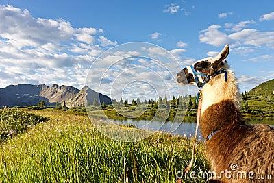 Llama at Idyllic Mountain Lake