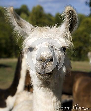 Free Llama II Stock Images - 4327964