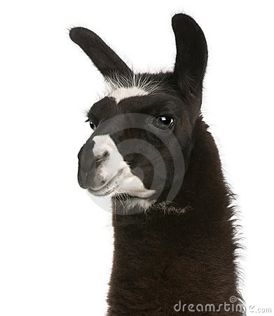 Free Llama, Lama Glama Royalty Free Stock Photography - 17953147