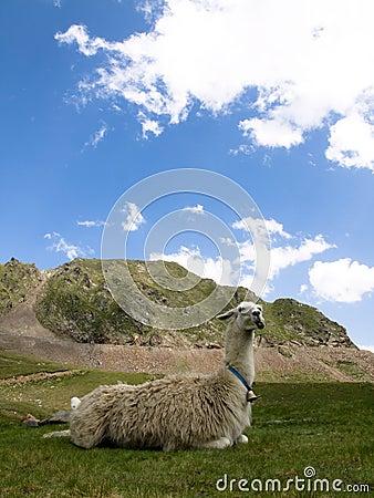 Free Llama Lying Down Stock Image - 6412481