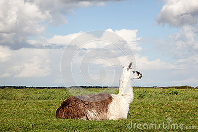 A llama lying in the grass