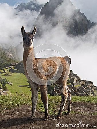 Llama at Machu Picchu (Peru)