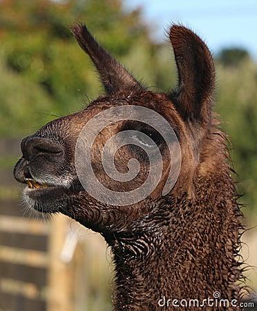 Llama Smile