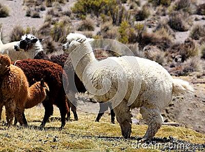 Llamas alpaca