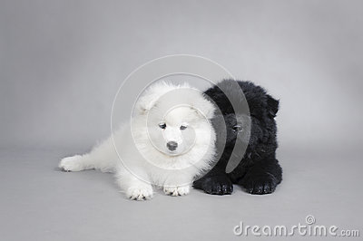 Llittle Chow chow and Samoyed  puppies portrait