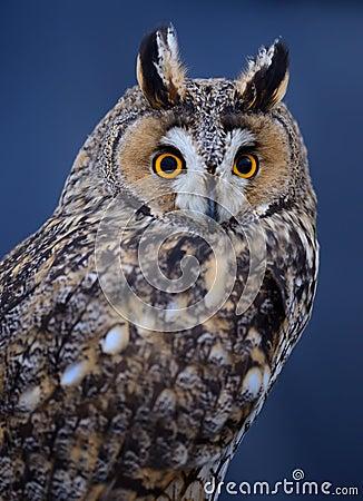Lång-gå i ax owl