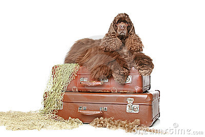 Lo spaniel di cocker americano si trova sulle valigie dell annata