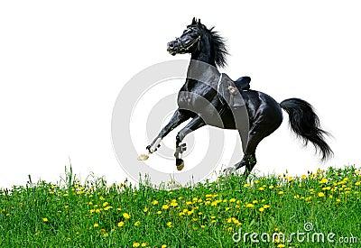 Lo stallion arabo galoppa nel campo