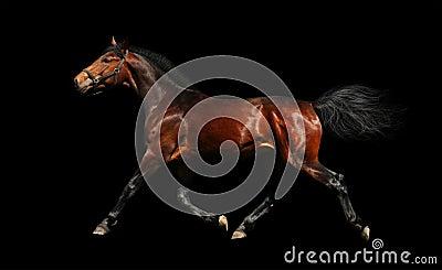 Lo stallion di Hanoverian trotta